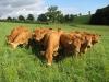 Vaches qui avancent