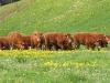 Prairie fleurie avec vache limousine